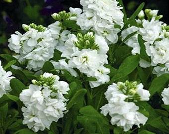 Stock seeds-White- 50 Seeds