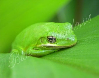 Tree frog, green frog, animal photo, amphibian, frog photography, nature photo, frog on leaf