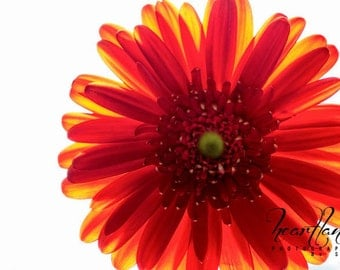 Large Red Print, Red Daisy, Macro Photography, Nature Photography, Red and Yellow, Macro Flower, Large Wall Art, Girl Room, Large Photo