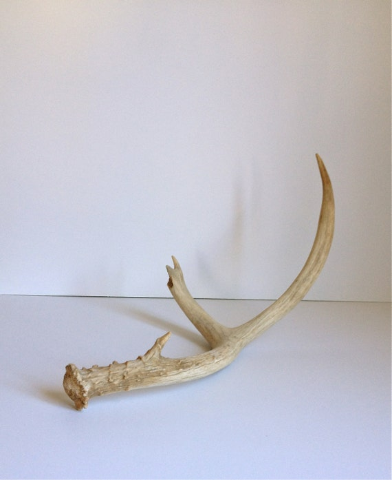 Mule Deer Antler Modern Decor Item 10 By TheLilianTheory