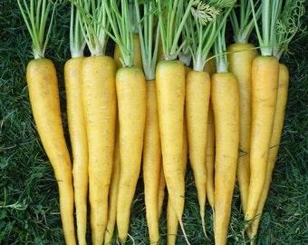 Carrot - Solar Yellow (100% Heirloom/Non-Hybrid/Non-GMO)