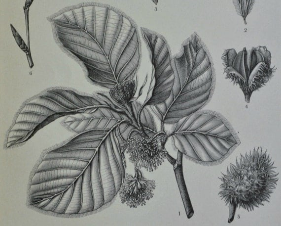 Beech. Botany print.. Old book plate, 1904. Antique illustration. 111 years lithograph. 6 x 9'2 inches.