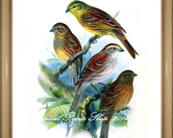 "Bird Print. Yellowhammer. Bunting. 5x7"", 8x10"" 11x14"""