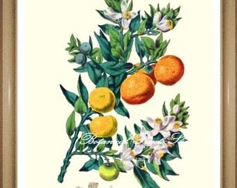 "Citrus Print. #3 Oranges Print. Fruit Print. Fruit Wall Art. 5x7"", 8x10"" 11x14"""