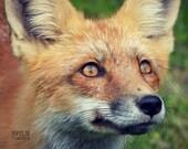 Red Fox Portrait, Animal Photography, Wildlife Art Print, Woodland Nursery Art, Rustic Cabin Decor, Woodland Animal, Fox Animal Totem