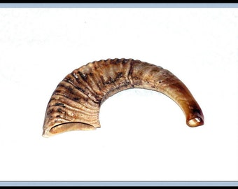 New Rams Horn Shofar Authentic Half  polished made in Israel
