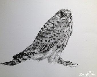 PRINT of Pencil Drawing of a Kestrel