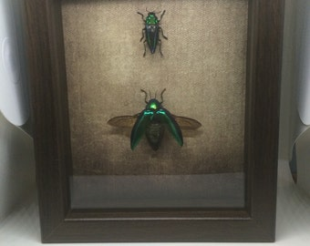 Jewel beetle shadow box, spread and unspread specimen