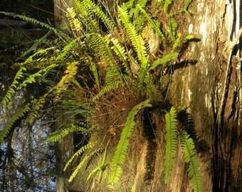 Cypress Stump  *Art~ Photographic Art~ Wall Art~ Office Art~ Morning Sunlight~ Loop Road~