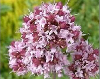 Sweet Marjoram Origanum Majorana Purple Herb Flower Seeds / Perennial  100+