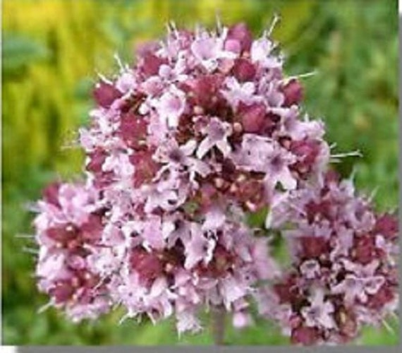 Semi di fiori di maggiorana dolce origanum majorana erba for Semi di fiori