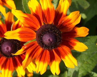 Gloriosa Daisy Sunset Flower Seeds (Rudbeckia Hirta) 200+ Seeds