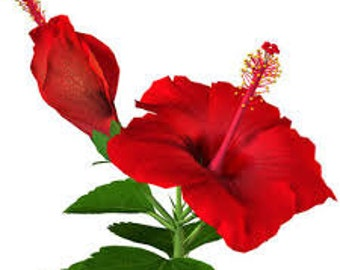 how to make hibiscus essential oil