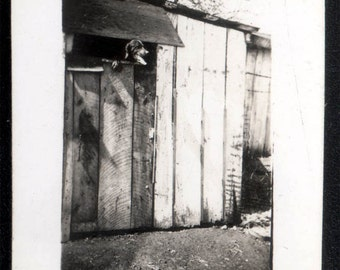 vintage photo 1940s Hound Dog Tallest Dog on Earth Looks over 6ft Gate