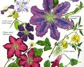 Flower Print - Genus Clematis - Flowering Plants - Botanical Print - 1965 Gardening Encyclopedia Book Page - 11 x 8