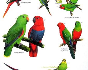 Vintage Bird Print - Josephine's Lory, Ecelctus Parrot, Swift Parrot, Budgerigar, Australian King Parrot - 1990 Vintage Book Page - 11 x 9