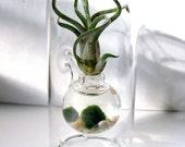 Mini Sublime. Marimo and Air Plant Tillandsia. Hand Blown Glass. Terrarium