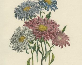 Vintage Flower Print, Chinese Aster, Botanical Flower, Jane Loudon 4, Natural History, Blossom Art, 1948