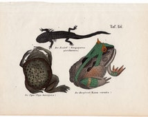 1854 frogs & toads print original antique amphibian engraving - frog toad newt salamander pipa frog horny toad