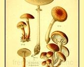 antique french illustration digital mushrooms print armillaria and lepiota DIGITAL DOWNLOAD