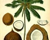 antique botanical print coconut tree illustration digital download