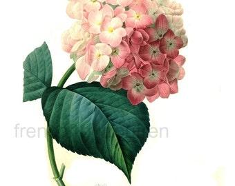 antique french botanical illustration pink hortensia hydrangea print DIGITAL DOWNLOAD