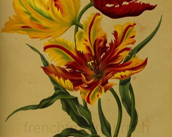 antique victorian botanical print yellow and red parrot tulips DIGITAL DOWNLOAD