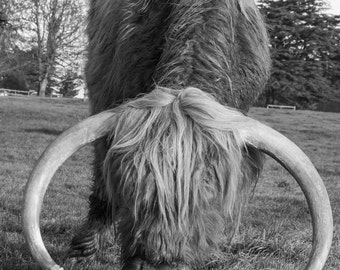 Highland Cattle 20 - Fine Art Photography - Highland Cow - Nature Photography