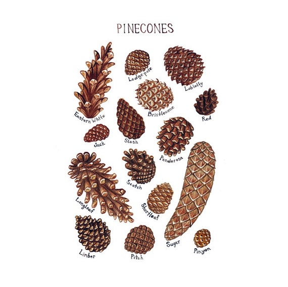Pine Cones Field Guide Art Print / Watercolor Painting / Wall