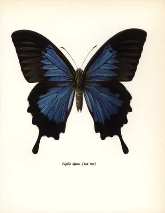 Australian Butterfly Print, Indigo Blue Mountain Swallowtail, 1960s Wall Art No. 74-1