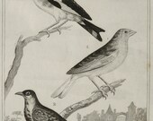 1835 Antique print of SONGBIRDS: GOLDFINCH, SERIN. 181 years old rare Buffon copper engraving