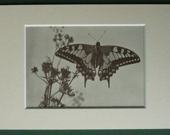 1950s Vintage Swallowtail Butterfly Print Beautiful entomology art, natural history decor - Available Framed - Butterfly Art - Nature Gift