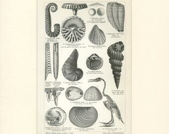 Matted Antique Sea Shell Print C. 1900 Antique German Engraving Vintage Decor 11x14""
