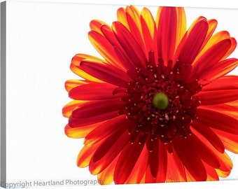 Large Canvas Art, Red Daisy, Macro Flower, White Background, Bright Colors, Extra Large Wall Art, Oversized, Nursery Decor, Girls Room