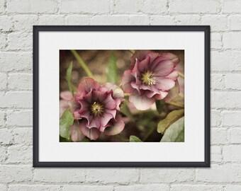 Nature Photography - Pink Hellebore Flower Photo - 5x7 Wall Art - Pink Flowers - Botanical Print - Floral Home Decor - Bathroom Art Print