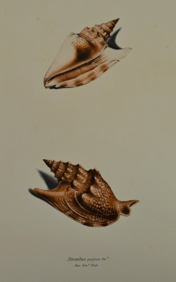 Strombus pacificus. Exotic conchology print. 1968. Vintage book plate. Shell print. 11'3 x 9'2 inches.