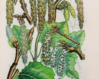 Anne Pratt Antique Botanical  Print - Poplar Tree & Aspen, Catkins, Wild Flowers (210)