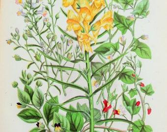 Anne Pratt Antique Botanical  Print - Toadflax, Fluellin (156)