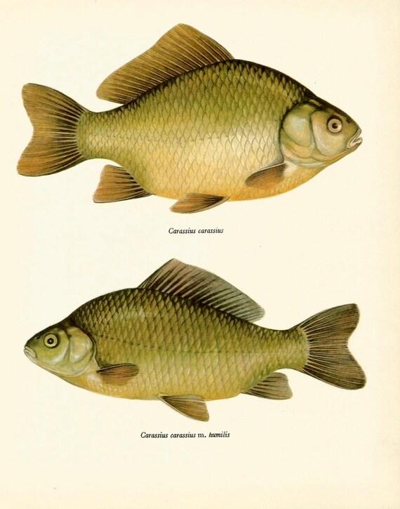 Vintage fish art print the crucian carp vintage 1972 print for Decorative carp