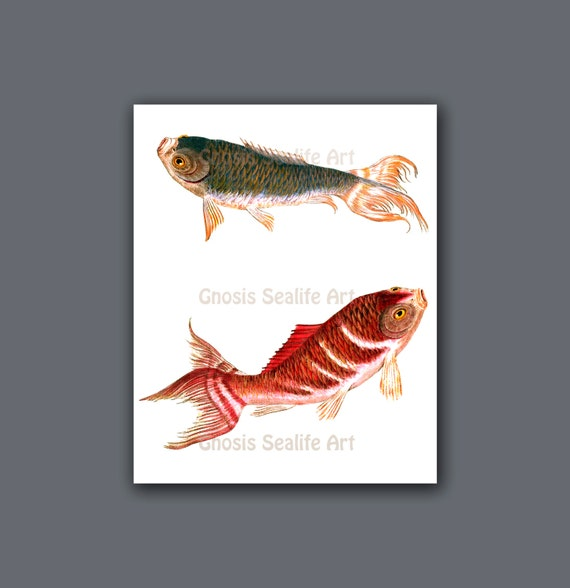 Asian home decor koi fish wall art print 2 koi is symbol for for Koi carp wall art