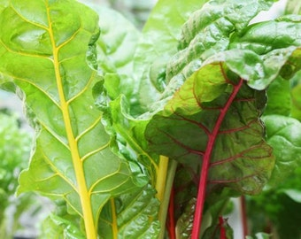 Rainbow Chard (Beta vulgaris) - Organic Vegetable Seeds 2 Grams