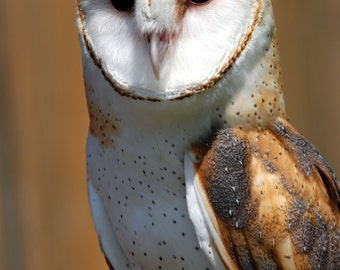 Barn Owl Portrait, Original Nature Art Photo