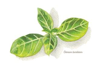 Sweet Basil Herb Watercolor Illustration Print