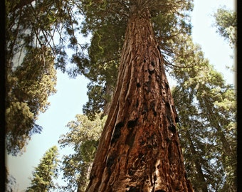 Tree Photo, Sequoia photo, Forest Photo Art, California Woodlands, Giant Sequoia Tree Photo, Sequoia Park, National Park, California Nature
