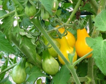 75+ Yellow Pear Tomato Seeds for 2016- Heirloom Variety