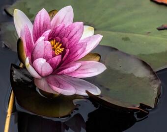 Water Lilly at Beaver Lake