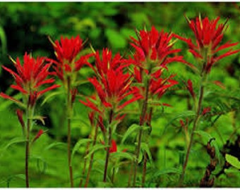 Indian Paintbrush Seeds, Castilleja Indivisa, Wildflower, Prairie Flower, Re-seeds itself, Drought Tolerant