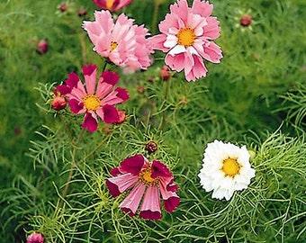 Cosmos Wildflower Collection - Cosmos bipannatus (6 Cosmos Varieties - 300 seeds)
