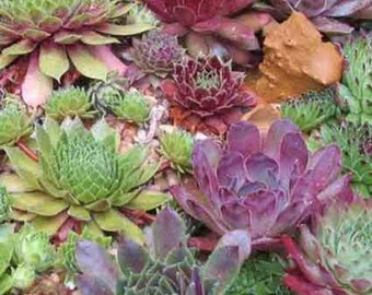 Sempervivum Mixture - 200 Seeds - Houseleek Liveforever