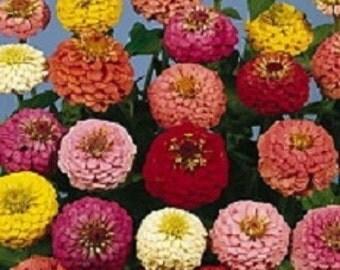 500 Seeds Zinnia Lilliput Mixture Flower Seeds